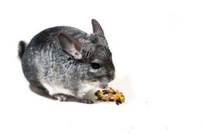comida para chinchillas